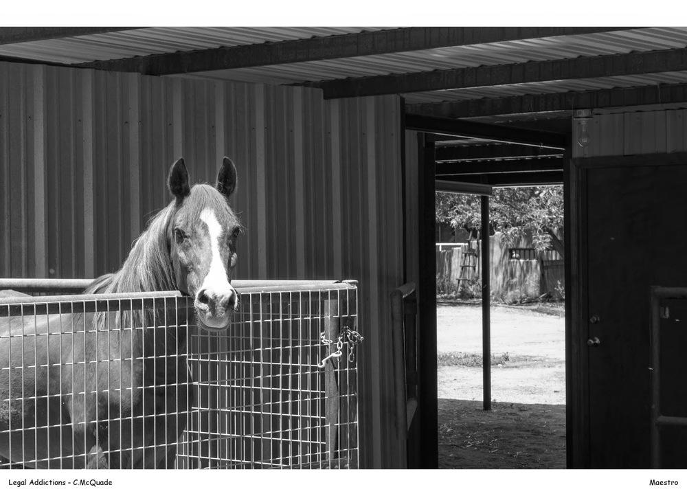 maestro+in+barn-20143194.jpg