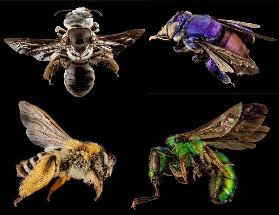 Wild bees from around the world. From top left and going clockwise,Phenacolletes mimus from Australia,Euglossa spp. from Guyana,Augochlora pura from United States of America, and Dasypoda plumipes from the United Kingdom. All photos are credited to Sam Droege, USGS.