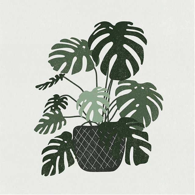 Another favorite: Monstera Deliciousa (Swiss Cheese Plant).
