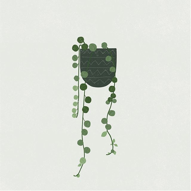 I have a love hate relationship with the String of Pearls. Love, because it's such a cool plant. Hate, because every time I get it looking like the second illustration it gets all temperamental and I kill off most of not all of it 😫