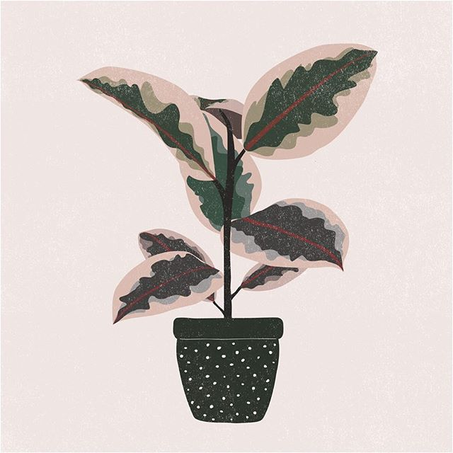 "Variegated ""Ruby"" Ficus Elastica - Rubber Plant."