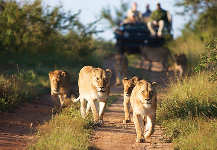 在南非Limpopo省的Kapama野生動物保護區內,遊客們在專業導遊的引領下,與一群灌木叢中的獅子相遇了。