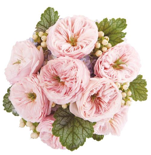 David Austin的玫瑰 是Francesca的最愛,彷如永不凋謝。