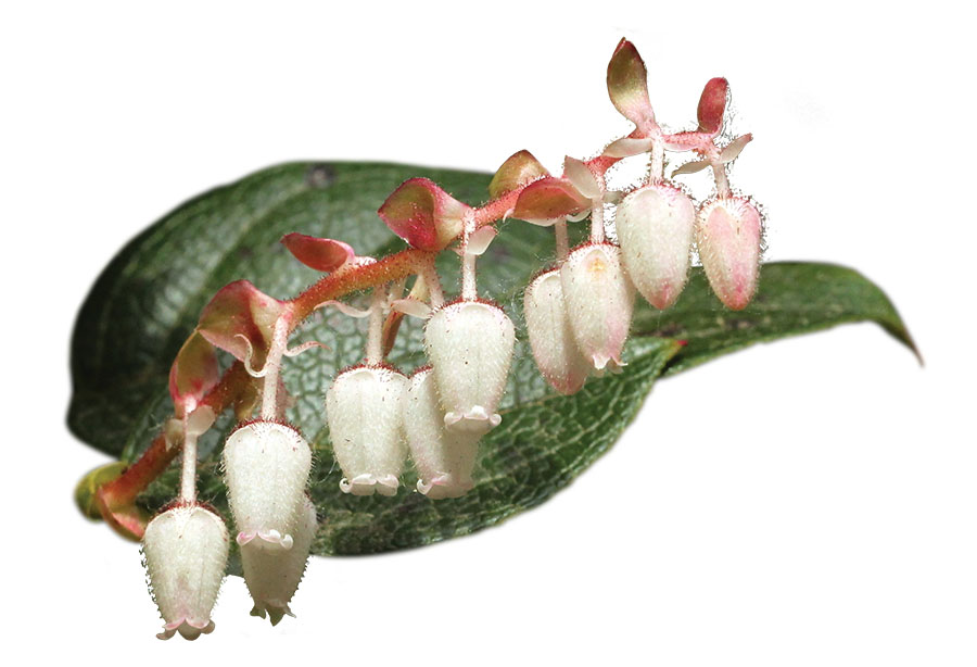 Martha喜歡低調平價的北美白珠樹(Salal)。