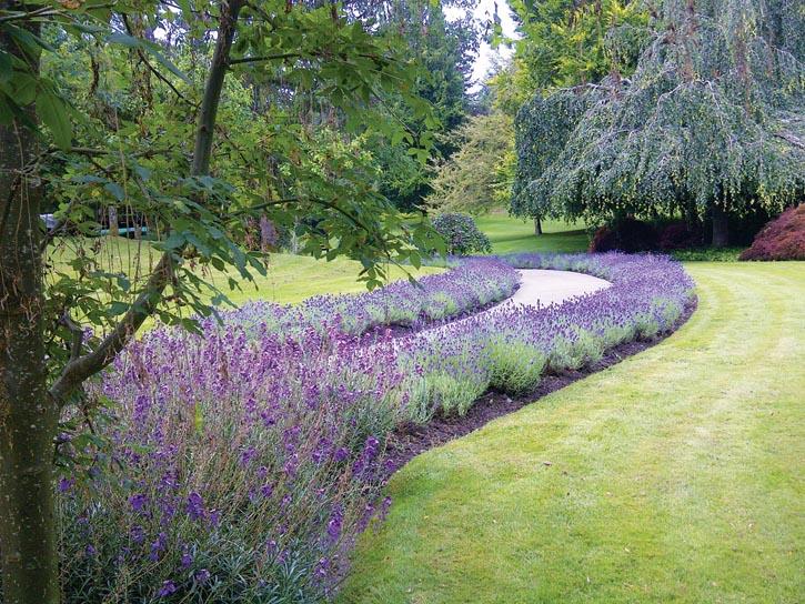 VanDusen植物園的薰衣草小徑。