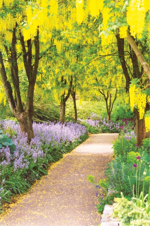 VanDusen植物園春天籠罩在開放的金鏈花之下的小路。