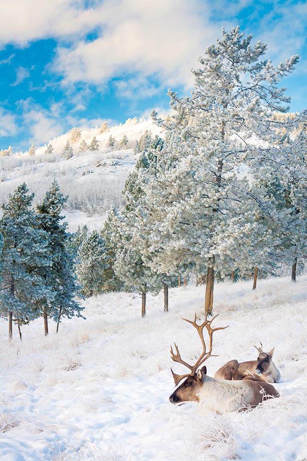 去野外徒步旅行,有機會在大自然中觀察北美馴鹿的野生生活。(Photo by Jake Paleczny)