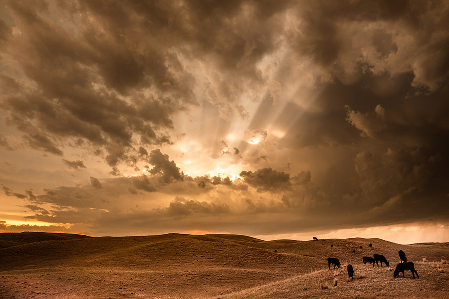 《山坡上的牛群》,內布拉斯加州