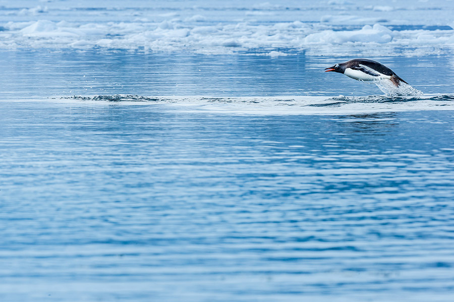 《躍出水面的巴布亞企鵝》,南極洲
