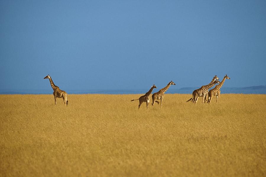 《草原上的長頸鹿》,肯尼亞