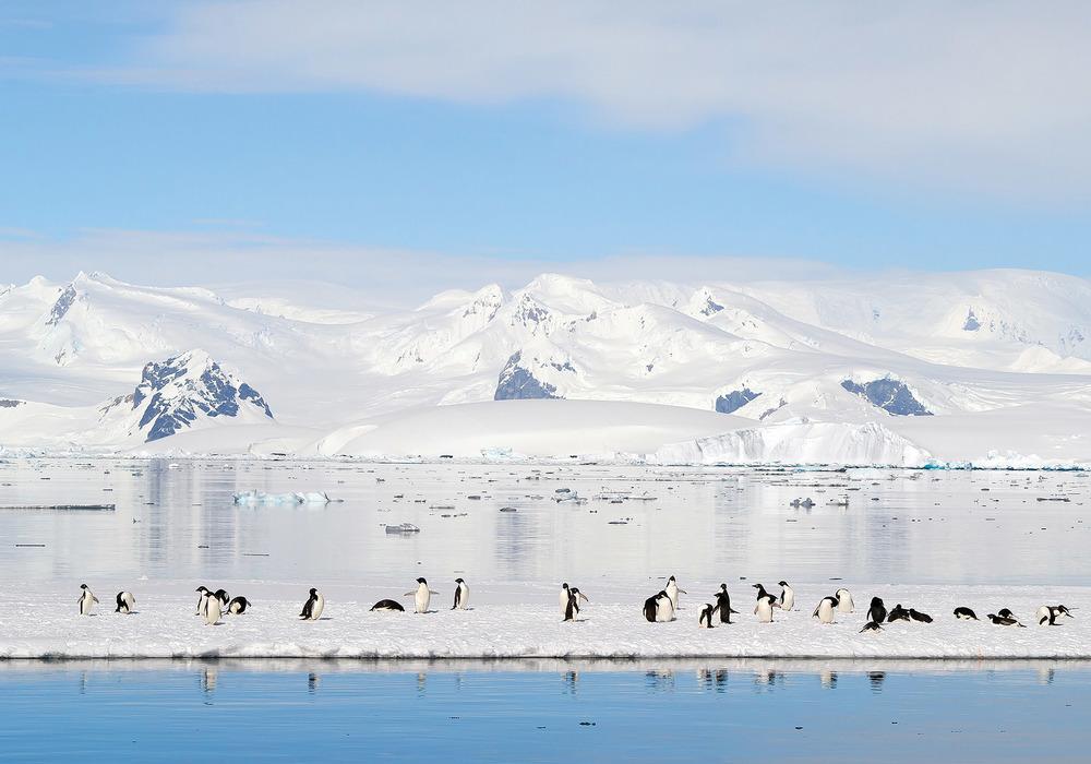 阿德利企鵝剛出生時並不是像穿著黑色燕尾服似的樣子,而是全身覆蓋著一層灰色的可愛絨毛。直到九週之後,絨毛才會脫落,長出黑色的鱗片樣的貼身羽毛,這時小企鵝就可以下海游泳了。MZPHOTO.CZ / Shutterstock.com