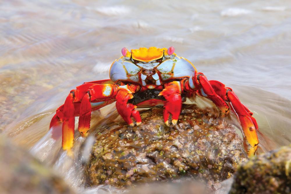 加拉帕戈斯群島上有大量行動及其靈活的沙莉飛毛腿蟹。Don Mammoser / Shutterstock.com