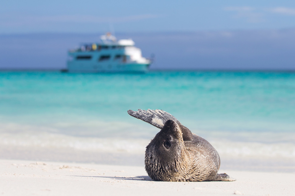 一隻小海獅正在加拉帕戈斯群島的海灘上曬太陽。Brendan van Son / Shutterstock.com
