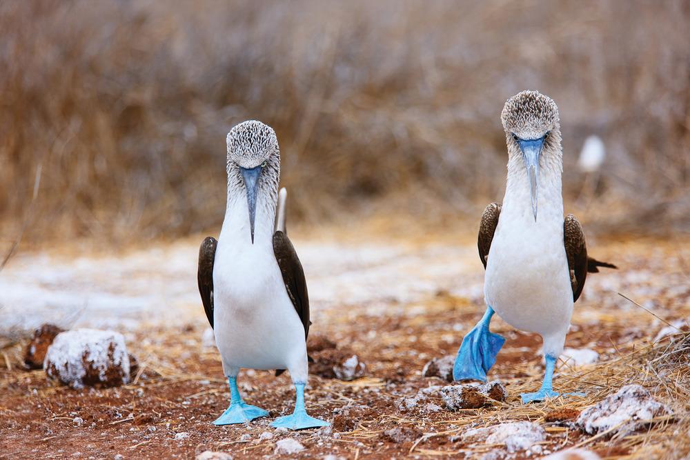生著艷麗藍色腳掌的雄性鰹鳥會用舞蹈和展示腳掌的方式來吸引雌性鰹鳥。BlueOrange Studio / Shutterstock.com.