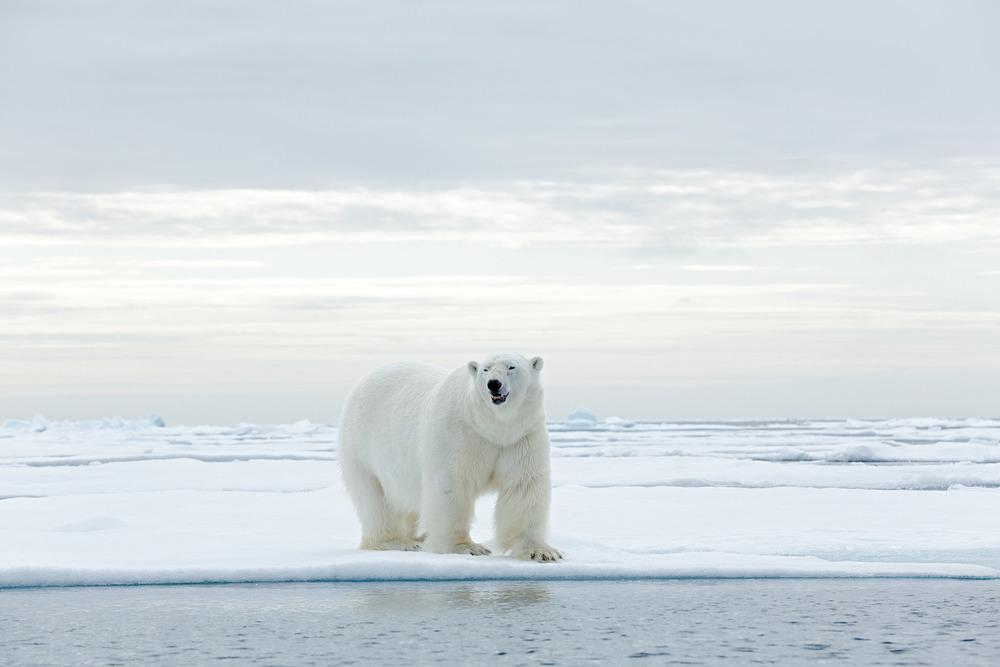 北極熊看上去是白色的,其實牠們的皮膚是黑色的,毛是透明中空的。這樣可以將陽光的熱量傳導到皮膚來取暖。北極熊主要靠捕獵冰層上的海豹維生。Ondrej Prosicky / Shutterstock.com