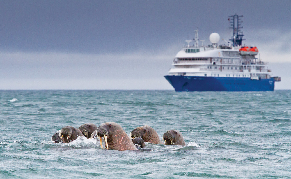 海象因其長長的牙齒而得名,它們可以在游泳的時候睡覺。Katiekk / Shutterstock.com