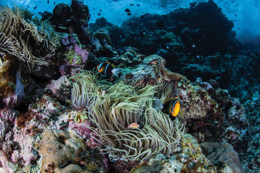 生長在海葵裏的小丑魚,依靠海葵帶毒性的觸手來保護自己,它們身上艷麗的條紋也有警示敵人的作用。