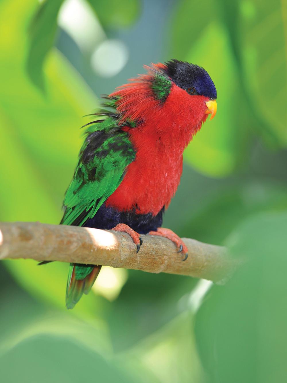 斐濟當地羽毛艷麗的庫拉鳥,屬於鸚鵡的一種。
