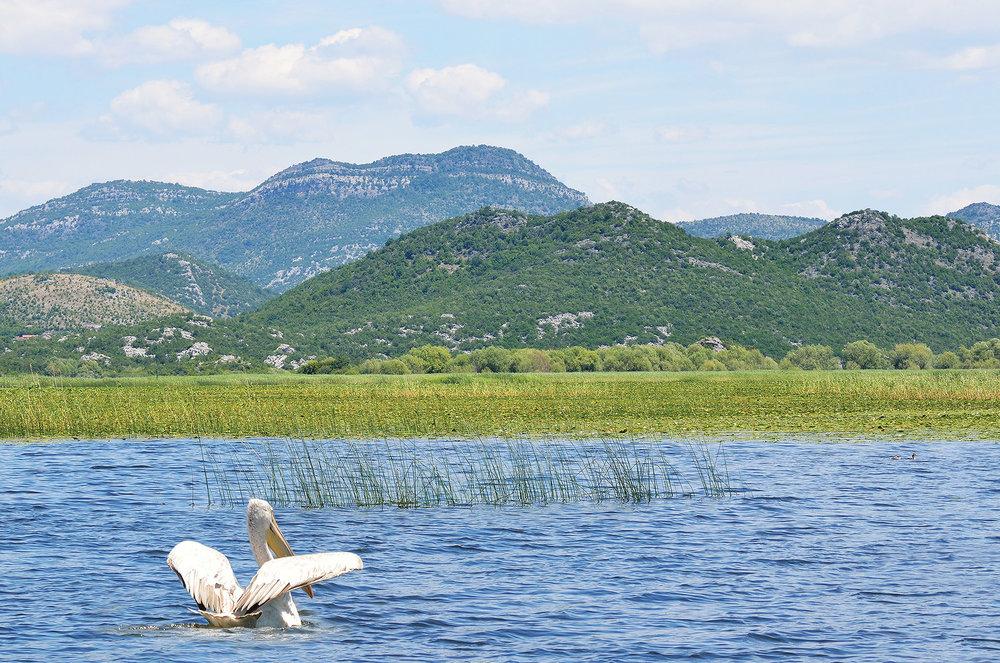 雪白羽毛的大嘴巴鵜鶘已成為斯庫台湖的象徵。Ovchinnikova Irina / Shutterstock.com
