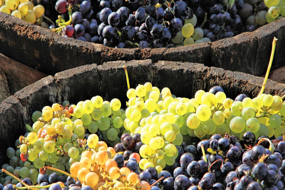 成熟的葡萄被放置在大木桶中等待進入葡萄酒加工程序。Photoprofi30 / shutterstock.com