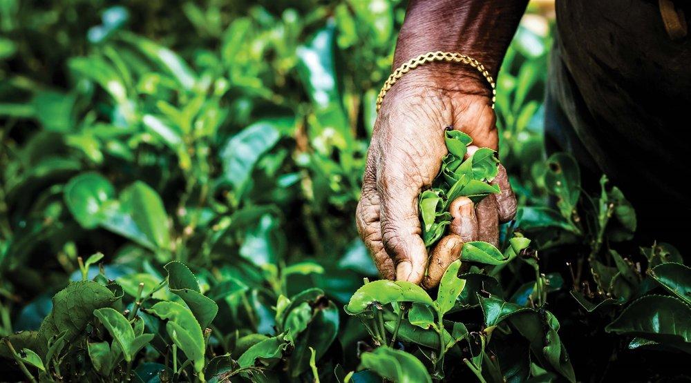 一位採茶工人需經過多年的練習,才能掌握正確的茶葉採摘方式。