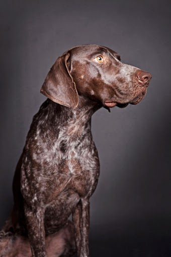 German Shorthair Pointer Photography, Photographs of German Shorthair Pointers,