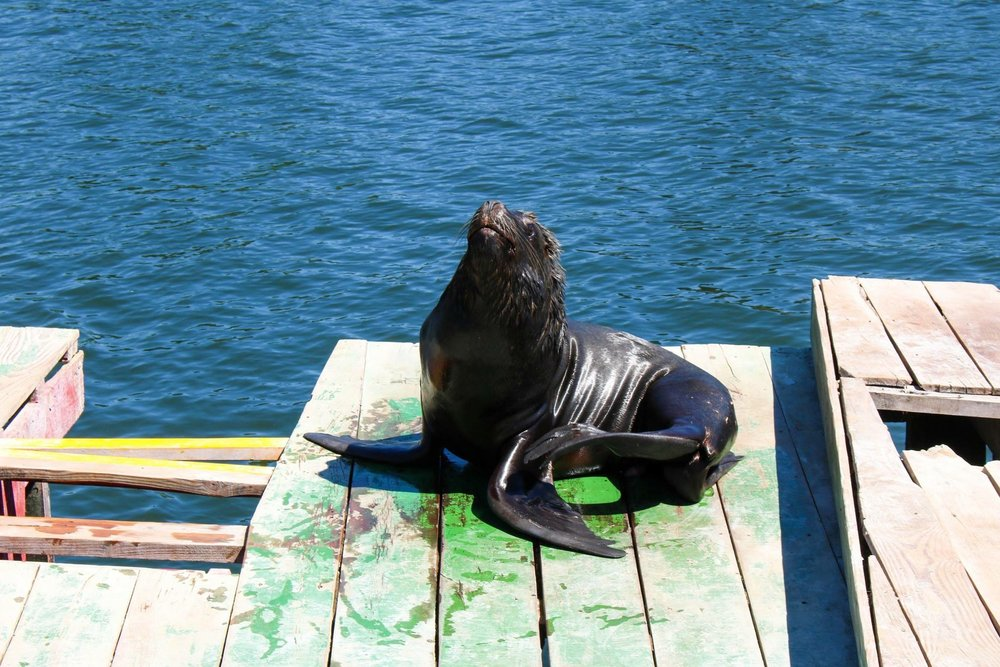 Sunbathing Sea Lion