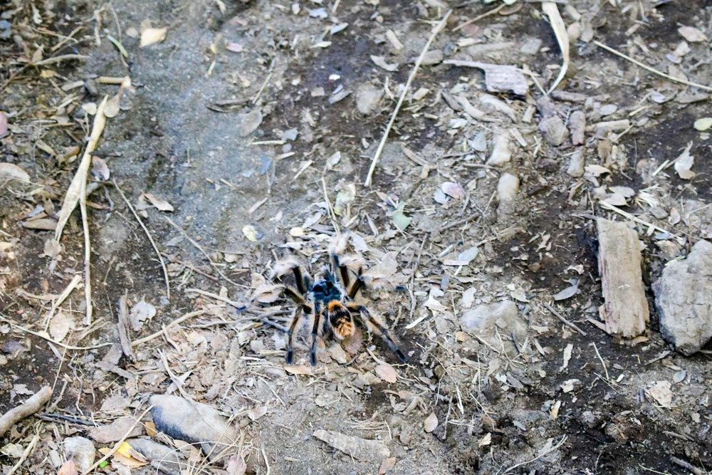 Hairy Spider on the Trail
