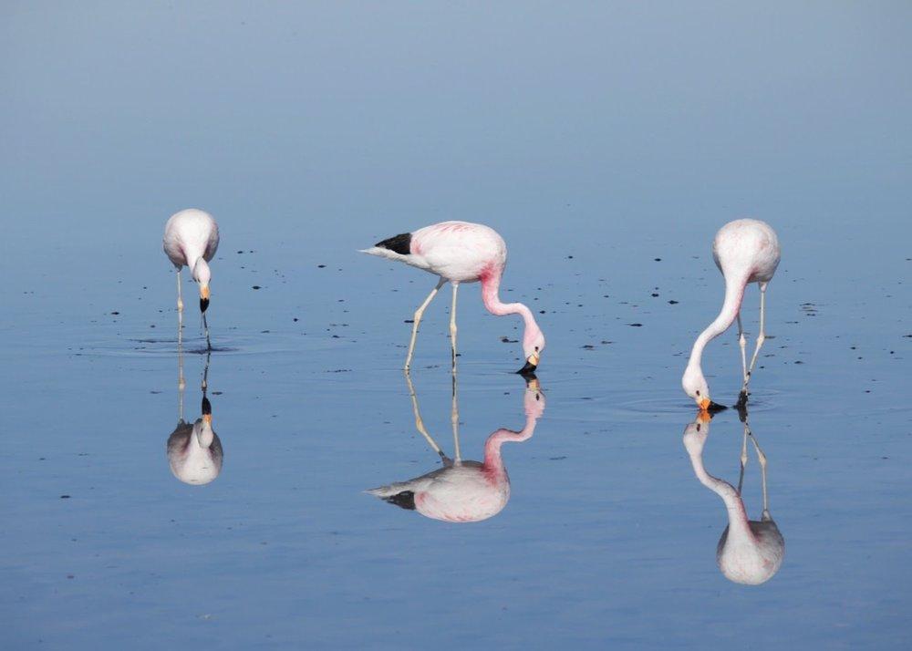 Reflective Flamingos