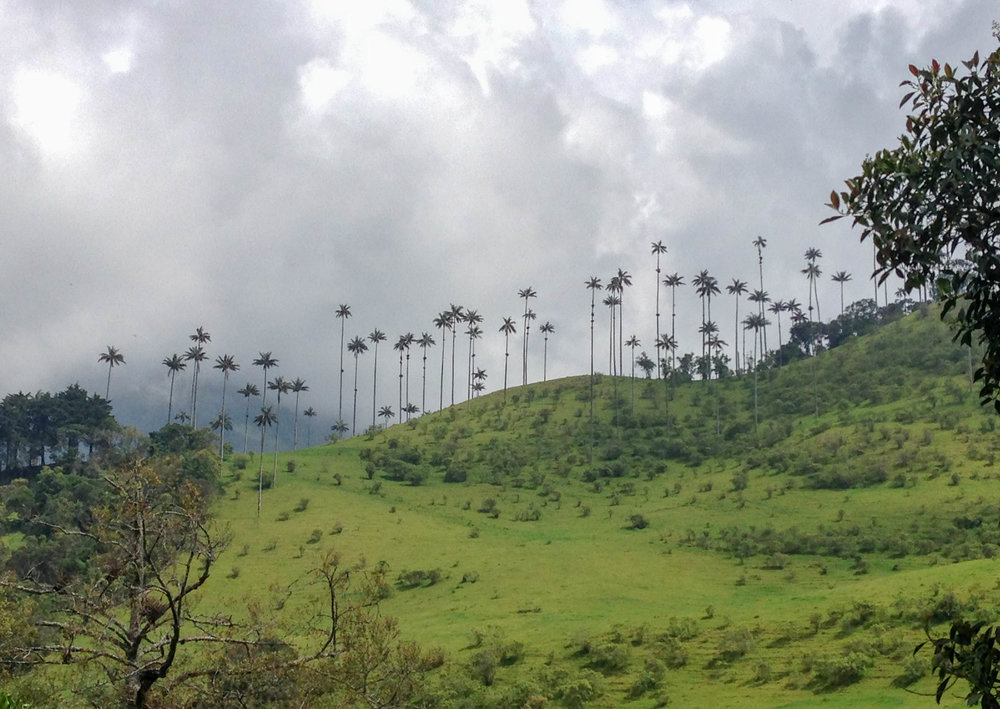 Tall Wax Palms in the Cocora Valley, Colombia