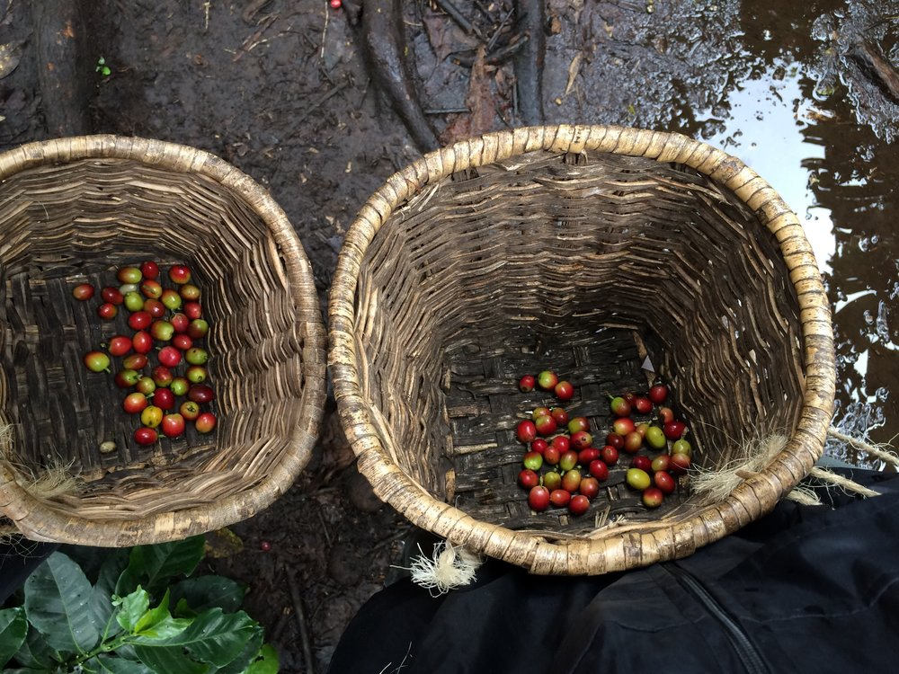 Freshly Picked Coffee in Baskets in the Cocora Valley, Colombia