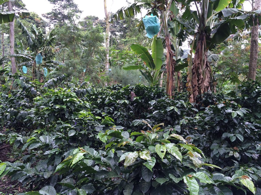 Coffee Plants Sheltered by Banana Trees in the Cocora Valley, Colombia