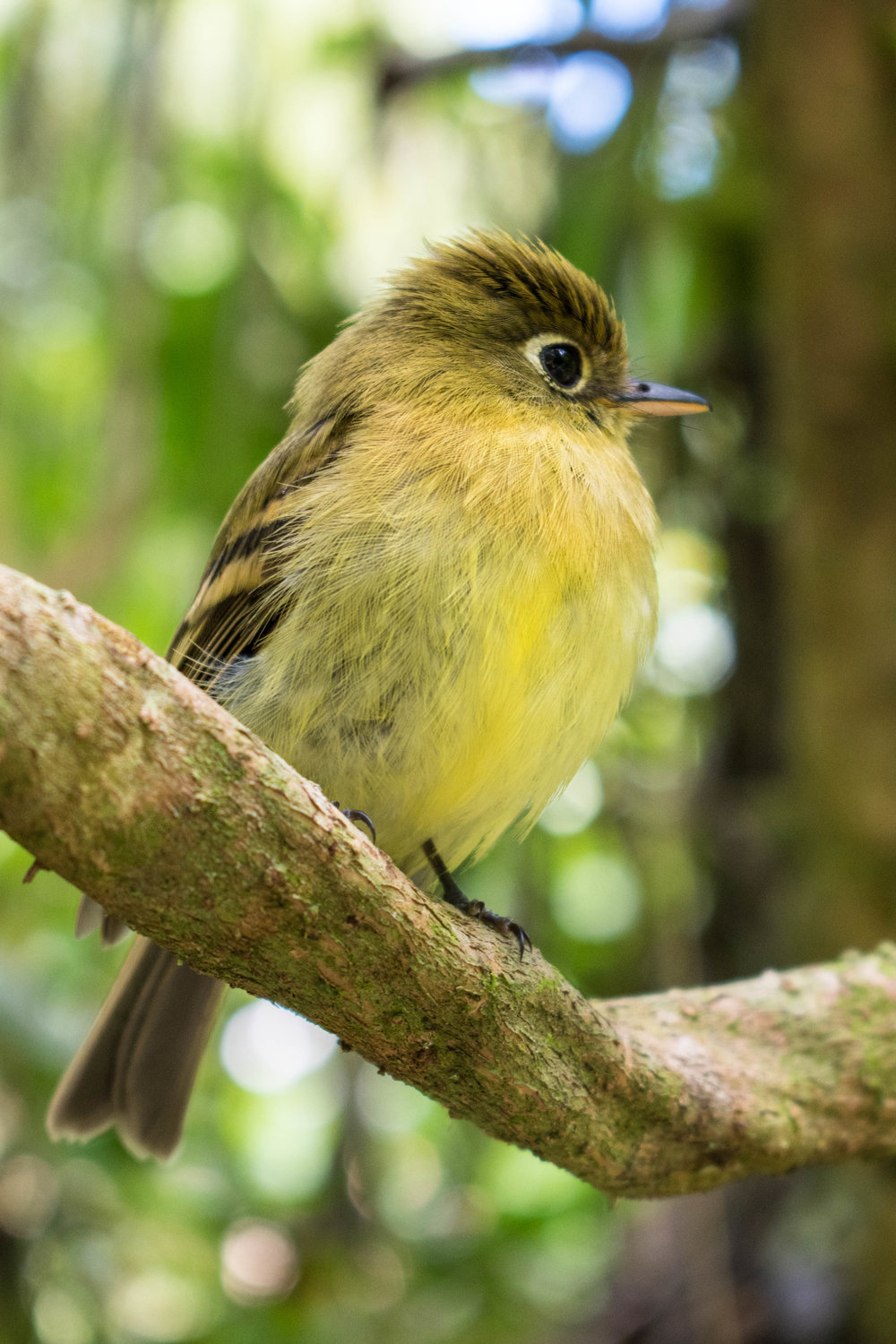 Attempting To Be A Birder in Wildlife Rich Boquete in Panama