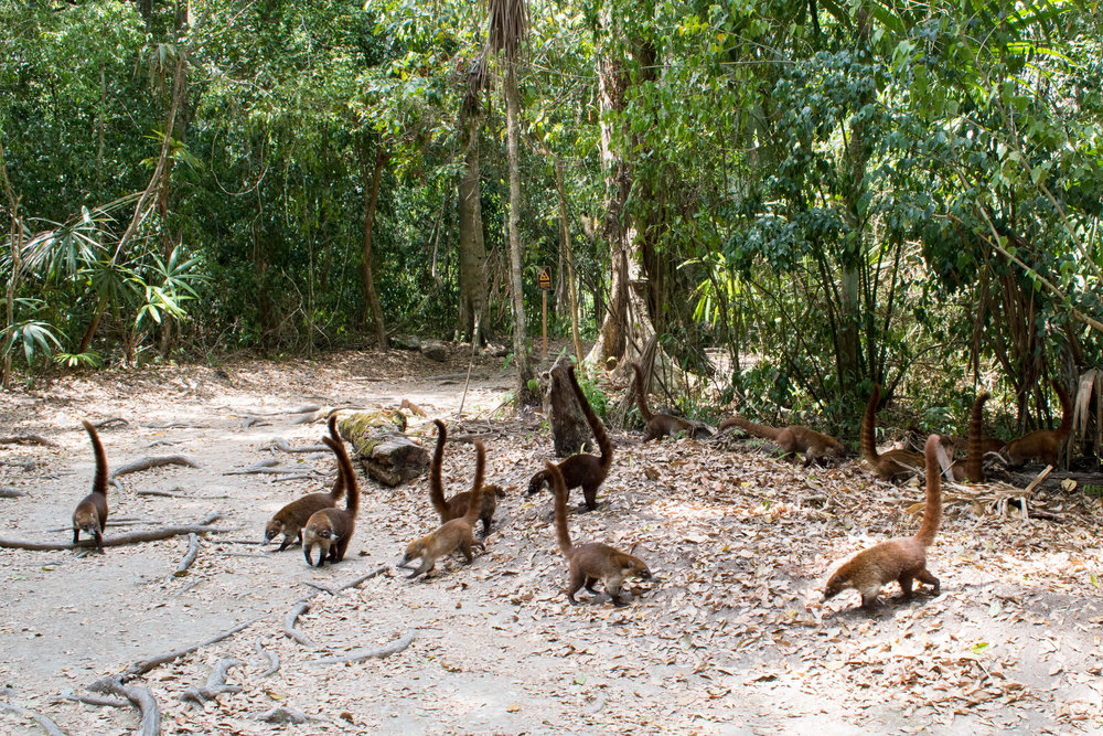 Naughty Coati Ferreting for Food in Tikal, Guatemala