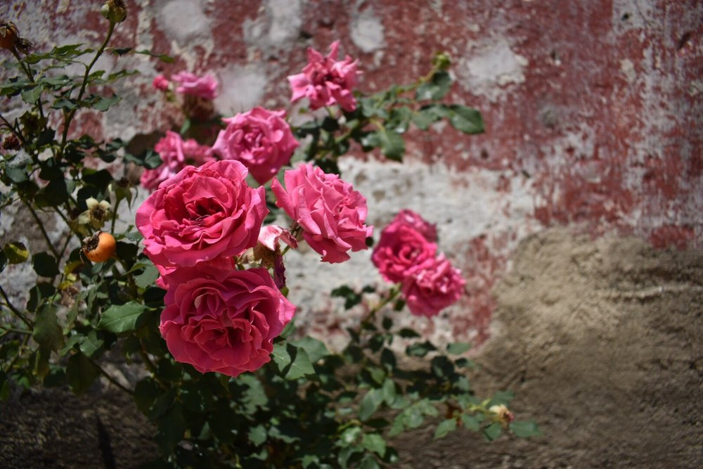 Beautiful Pink Roses in Antigua, Guatemala
