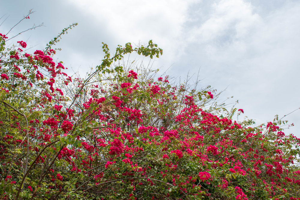 Beautiful Magenta Bougainvillea in Valladolid, Mexico
