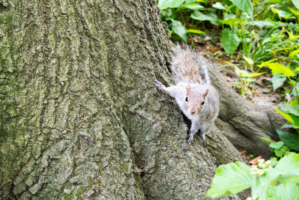 A Squirrel in Central park, New York