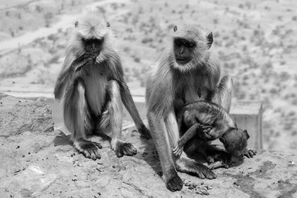 Three Monkeys At A Temple In Pushkar, India