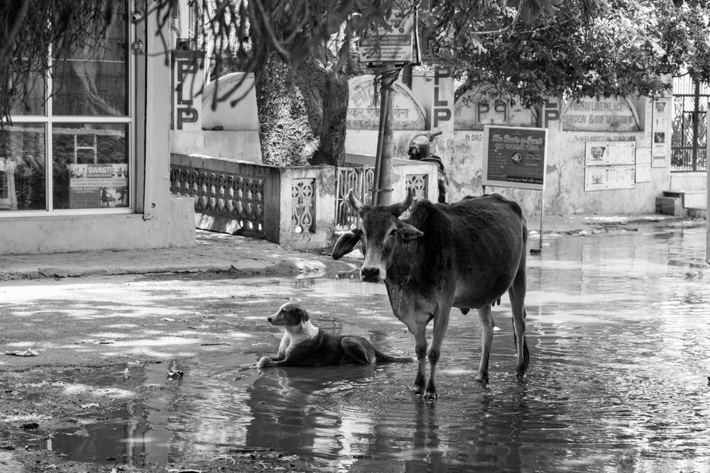 The Best Of Friends, A Dog And Cow In Pushkar, India