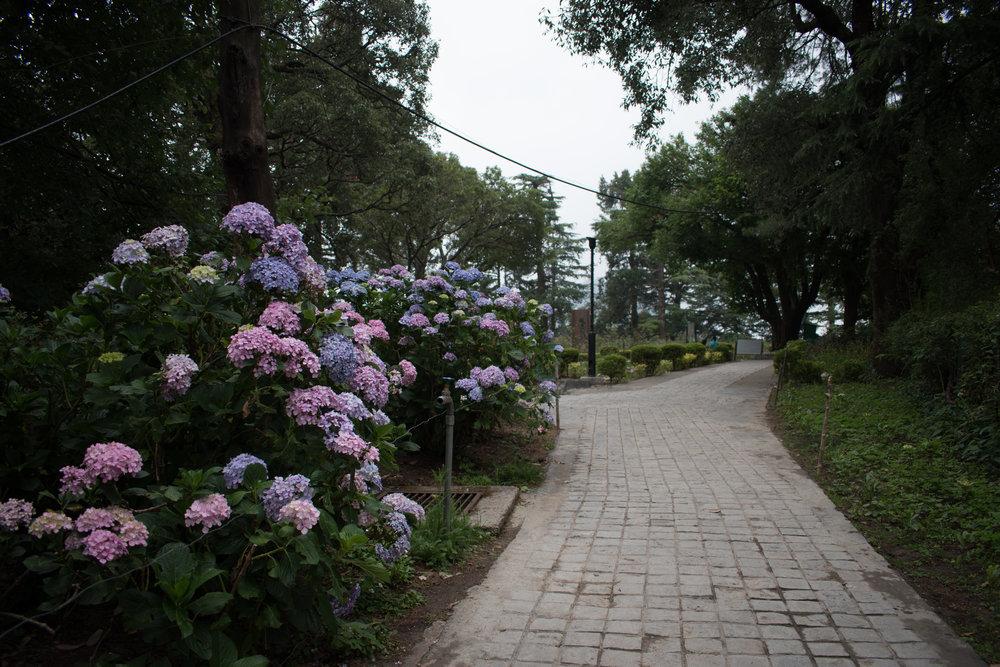 Hydrangeas At Viceroy Lodge in Shimla, India