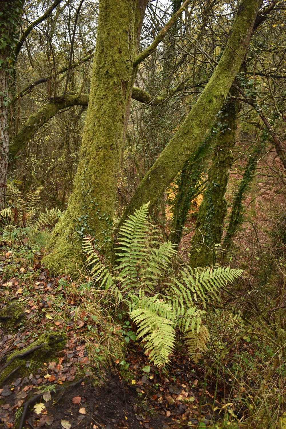 Ferns, Moss and Leaf Litter At The Forest Of Dean