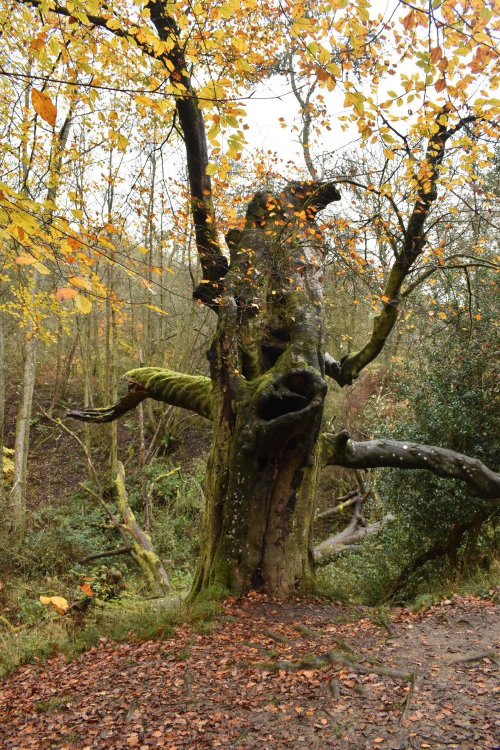 Ancient and Mystical Trees In The Forest Of Dean