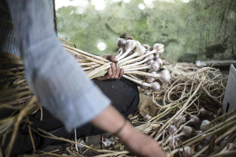 Bundeling garlic after a big morning harvest. (British Columbia)