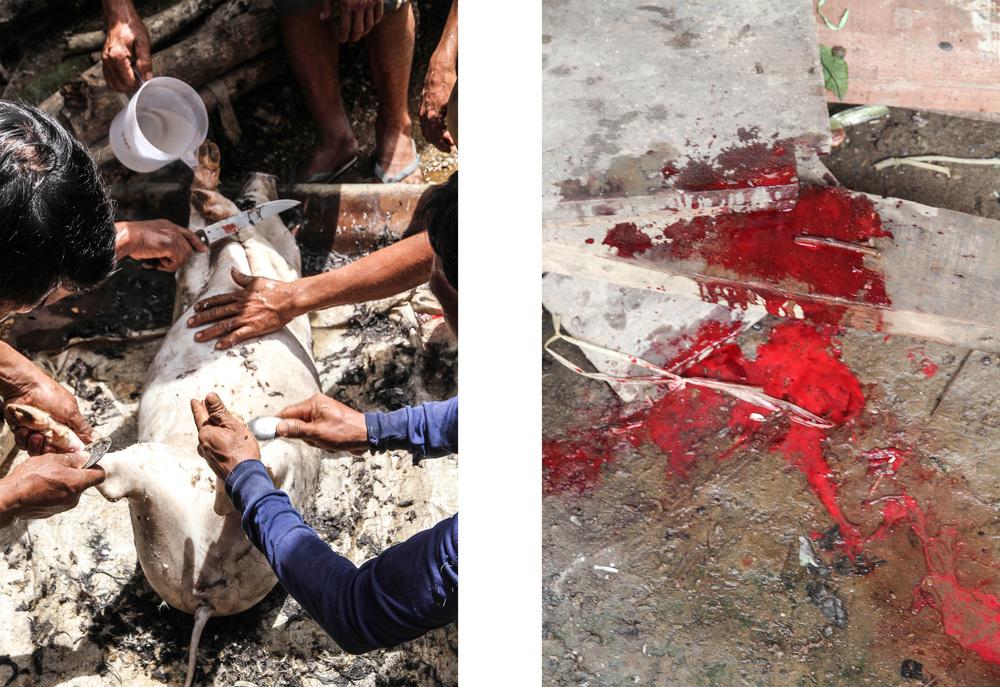 Pig slaughter. Louangphabang, Laos