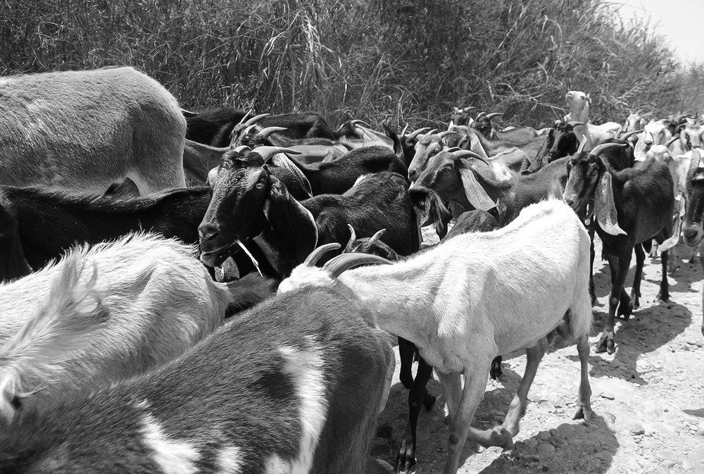 caral-supe-valley_pyrimids-786-goat-parade-diagonal.jpg