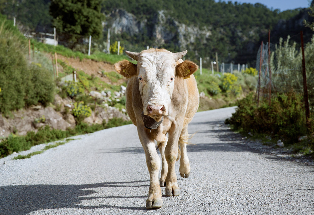 lycian-way_village2-2853-cow-approaching-faceon.jpg