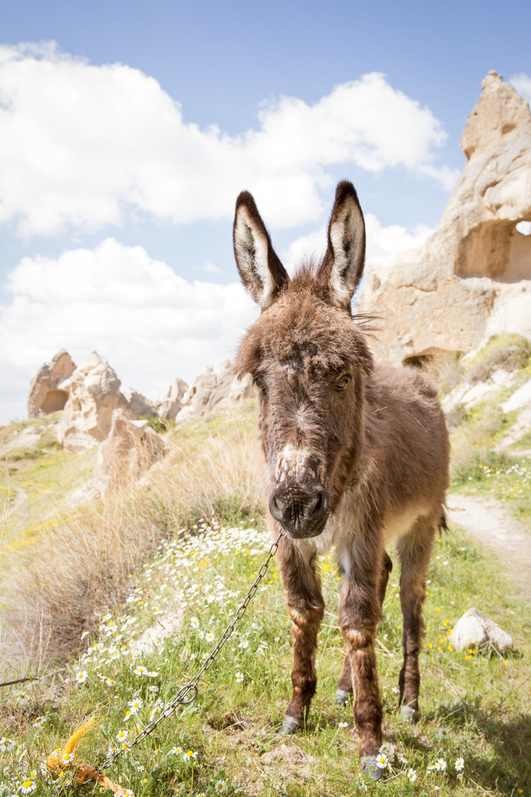 goreme_rose-valley_part1-3974-donkey-attentive.jpg