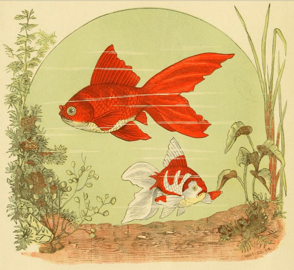 The Japanese Fantail Goldfish from  The goldfish and its systematic culture with a view of profit…  by Hugo Mulertt (1883)