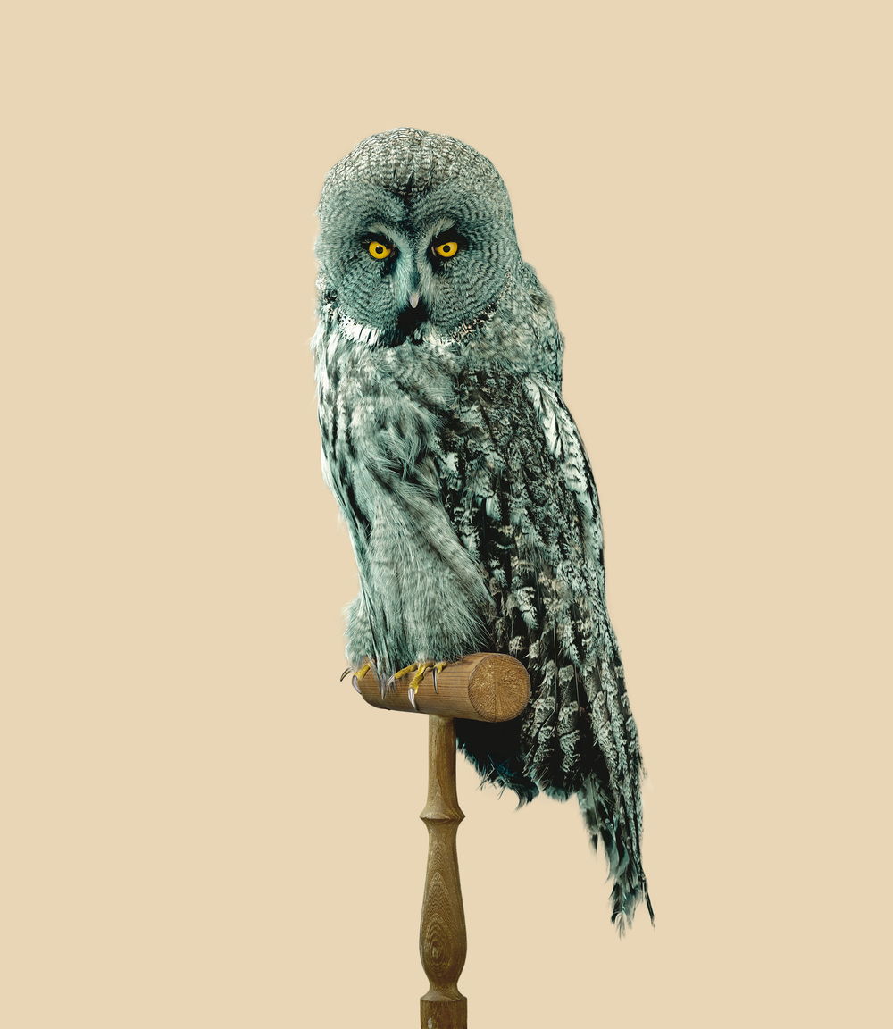 GREAT GREY OWL [Strix predatoris] 90 x 78,6 cm // 35.43 x 30.94 inch.