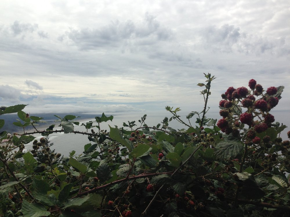 Oceanside, cliffside, invasive wild blackberries above Tillamook in late August
